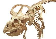 Skelett av Protoceratops