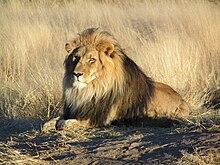 Lejonhanne i Namibia