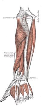 Underarmens baksida, djupa extensormuskler.