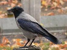 Gråkråka (Corvus corone cornix)