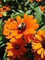 Bumblebee Montreal.jpg