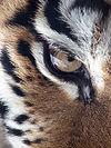 Amur Tiger Panthera tigris altaica Eye 2112px edit.jpg
