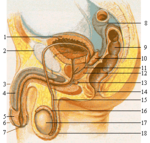 Mannens reproduktionssystem.
