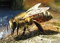 Drinking Bee.jpg