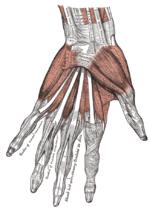 Flexormuskler