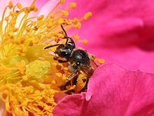 Ett bi som sprider pollen på en ros.
