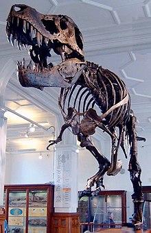 Tyrannosaurus rex, den mest kända av alla Tyrannosaurider.