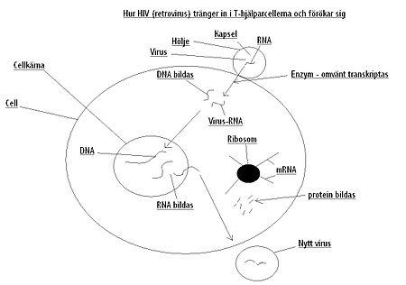 Hur hiv tränger in i T-hjälparcellerna och förökar sig