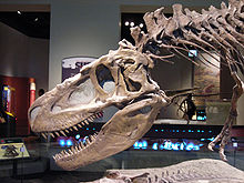 Skalle av Daspletosaurus