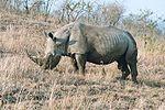 Noshörning med horn.