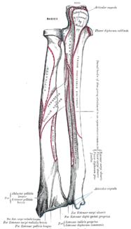 Strålbenet tillsammans med armbågsbenet sedda bakifrån (dorsalt) med den proximala änden uppåt (armbågen) och den distala nedåt (handleden).