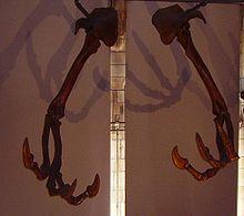 Skelettdelar av Deinocheirus i Natural History Museum, London.