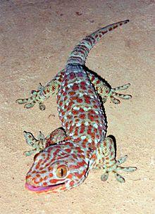 Tokaygecko (Gekko gecko)
