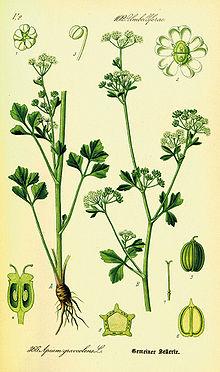 Illustration Apium graveolens0.jpg
