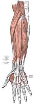 Underarmens baksida, ytliga extensormuskler.