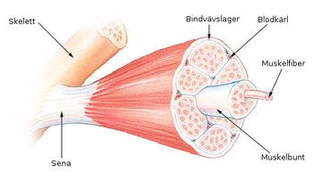 Muskelstruktur.png