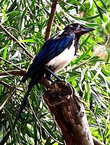 """Detta är förmodligen ett fotografi av underarten P.p.sericea som ibland kallas """"koreaskata"""". Den kraftiga blåskimrande färgen på vingen tyder att det är denna underart, som av vissa kategoriseras som en egen art."""