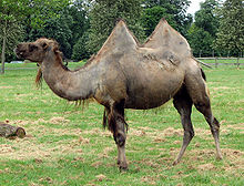 Bactrian.camel.sideon.arp.jpg