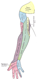 Innervationsområden på höger arms framsida.