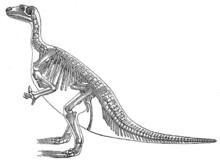 Arten Iguanodon anglicusi tillhörde släktet Iguanodon.