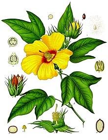 Västindisk bomull (G. barbadense)