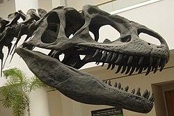 Kopia av en Allosaurus kranium (San Diego Natural History Museumé).