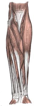 Underarmens ytliga muskler.