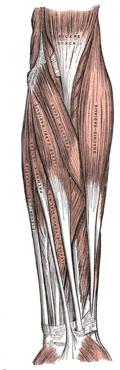 Underarmens framsida, ytliga flexormuskler.
