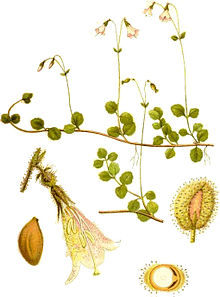 Linnaea borealis0.jpg