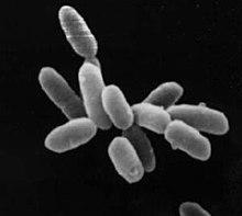 En art som tillhör underdivisionen Halobacteria