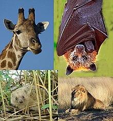 Giraff, Fladdermus, Igelkott och Lejonhane