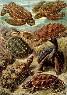 """""""Chelonia"""" från Ernst Haeckels Kunstformen der Natur, 1904"""