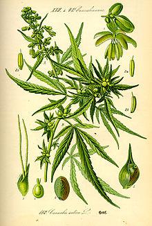 Illustration Cannabis sativa0.jpg
