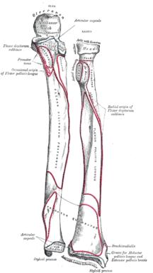 Vänster underarmsben, framsida.Illustration: Gray's Anatomy, 1918. (PD)