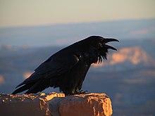Korp (Corvus corax) fotograferad i Nationalparken Bryce Canyon i Utah, USA.