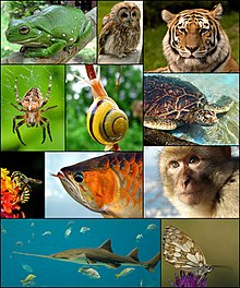 Från vänster till höger med början längst upp: en korallfingergroda, kattuggla, sibirisk tiger, korsspindel, trädgårdssnäcka, sköldpadda, ensamt bi, asiatisk arowana, berberapa, sågfisk och en schackbrädesfjäril.