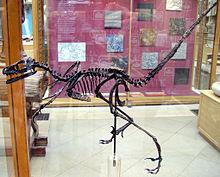 Bambiraptor-skelett i Oxford University Museum of Natural History.