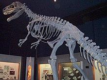 En kopia av ett Allosaurus-skelett på ett museum på Nya Zeeland.