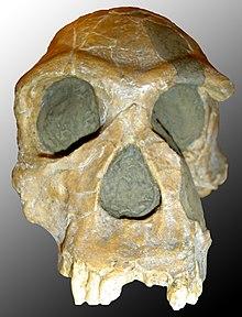 Homo habilis.jpg