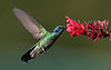 Colibri-thalassinus-001-edit.jpg