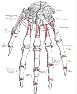 Handens skelett.