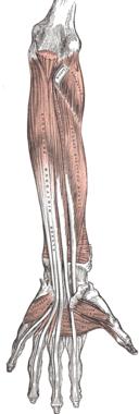 Underarmens framsida, djupa flexormuskler.
