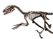 Skelett av Deinonychus antirrhopus